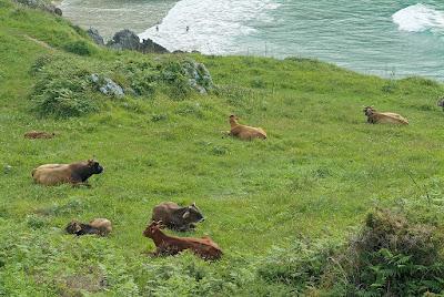 Vacas en Celorio