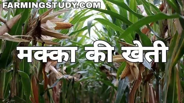 मक्का की खेती कैसे करें पूरी जानकारी, Makka ki kheti, मक्का की खेती कब की जाती है, मक्का की उन्नत किस्में, मक्का की फसल, makka ki fasal, farming study