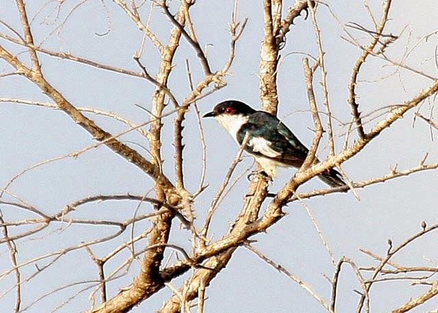 Cuco colorinche: Pied bronze cuckoo Chalcites crassirostris