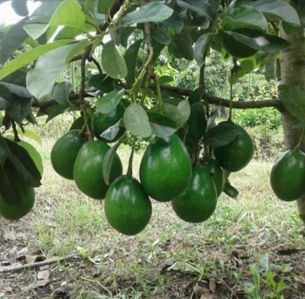bibit alpukat miki cepat berbuah hasil okulasi Makassar