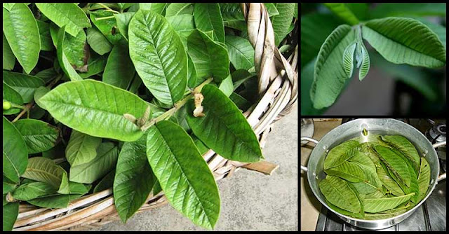 Help Manage And Control Diarrhea With Guava Leaves