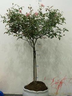 tree rose hao hồng đào