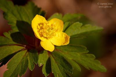 Bogláros szellőrózsa - Anemone ranunculoides