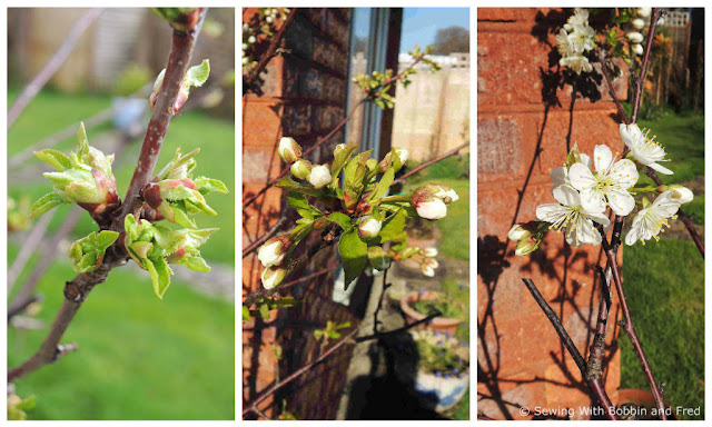 Three photos showing the stages of a cherry bloom