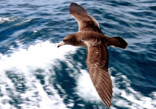 Indian birds - Flesh-footed shearwater - Ardenna carneipes