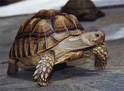 African spurred tortoise - photo#41