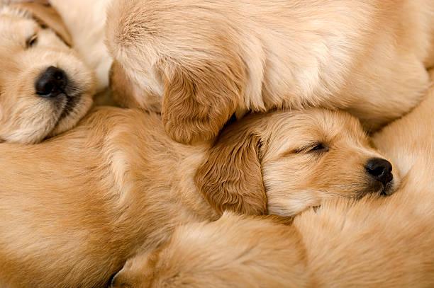 Breeding Golden Retrievers – The Reality