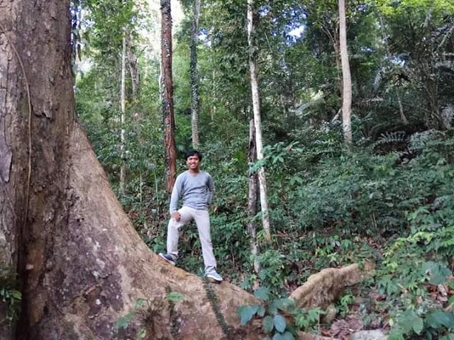 Pohon durian di Tembawang Lancak