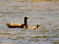 Birds of Patagonia: Ashy-headed Goose and baby in Bariloche Argentina