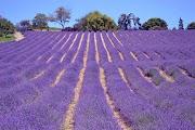 Sale San Giovanni: il borgo si colora di viola
