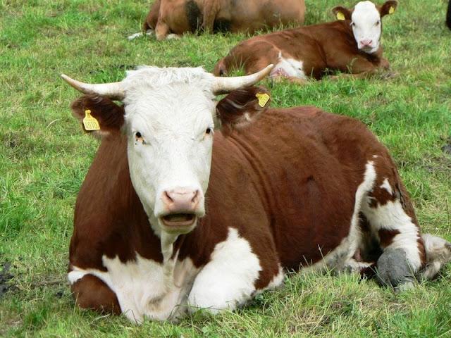 Οι Ελβετοί ψηφίζουν για το αν οι αγελάδες και τα κατσίκια θα εχουν κέρατα ή όχι!!!