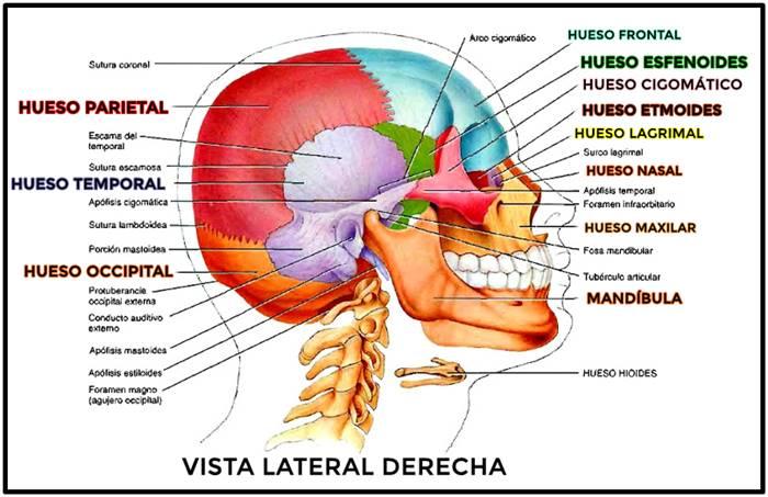 Huesos del cráneo: vista lateral derecha
