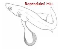 reproduksi ikan hiu
