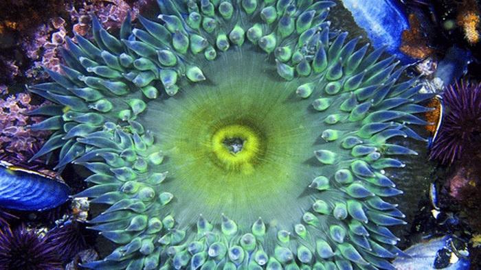 anemon laut, fun facts about sea anemones, anemon laut dan ikan badut, anemon galata, anemon marmaris, anemon jagung, anemon galata restaurant, anemon manisa, heteractis magnifica