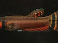 Ikan Cupang Betta macrostoma (Bruney Beauty)