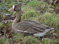 Greater white-fronted goose, Union Bay Natural Area, Seattle, WA - Jan. 4, 2007, by Walter Siegmund