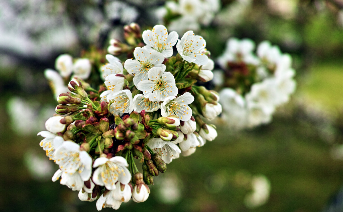 Sigma DP2 Merrill –  Kirschblüte