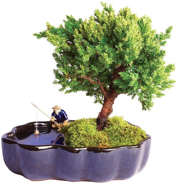 Brussel's Live Green Mound Juniper Outdoor Bonsai Tree