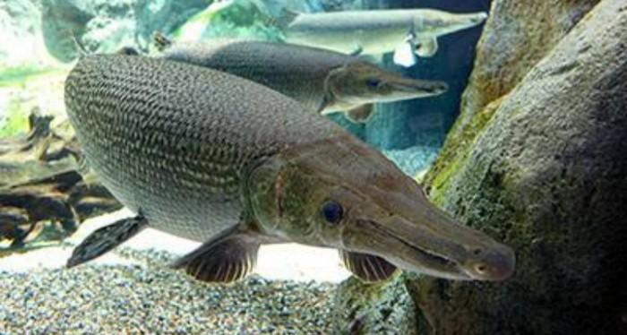 Hewan buas dan ganas biasanya hanya populer di daratan atau di lautan 5 Ikan Air Tawar Yang Ganas, Buas, Bahkan Mematikan, Berani Pelihara?