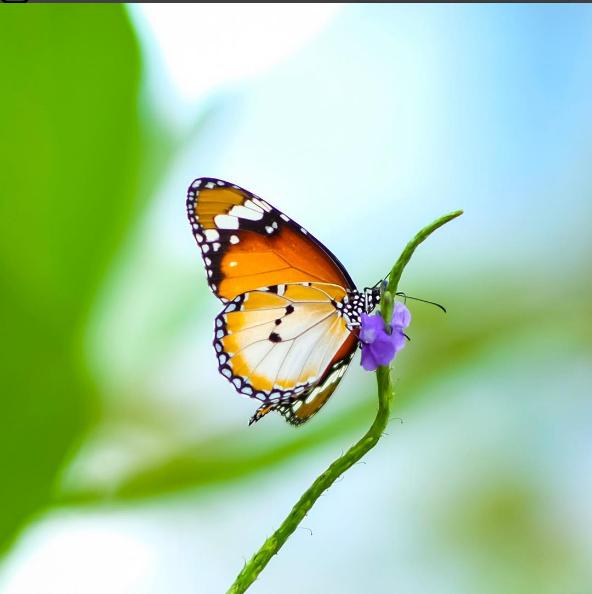 bươm bướm