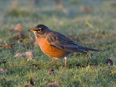 Photo of American Robin on the lawn