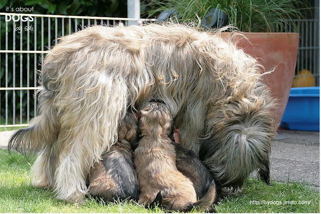 Nicht jeder Hundewelpe darf, wie diese beiden kleinen Tibet Terrier mindestens acht Wochen bei seiner Mutter bleiben.