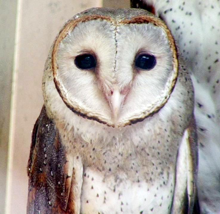 Komunitas Burung Hantu di Stabat Langkat Mulai Menjamur, Spesies Burung Hantu Vaforit Terutama adalah TYTO ALBA dan Mengenal Spesies Tersebut.