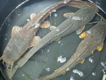 Tips Penyebab Ikan Lele Yang Tidak Mau Makan Cara Menambah Nafsu Makan Cara Mancing Ikan Yang Benar Mancing Ikan Besar