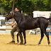 Το ελληνικό άλογο της Πηνείας...