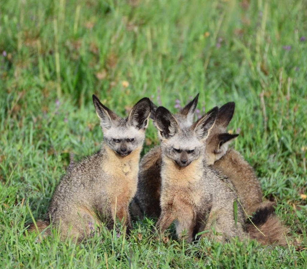 The Bat-Eared Fox – Did You Ever See a Fox Fly?