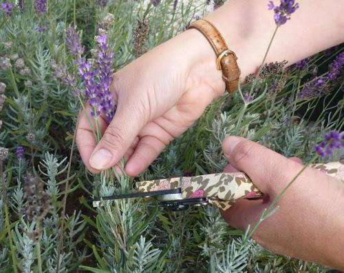 When should you cut back your lavender plants
