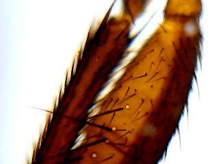 Resultado de imagen de vista microscopio pata de mosca