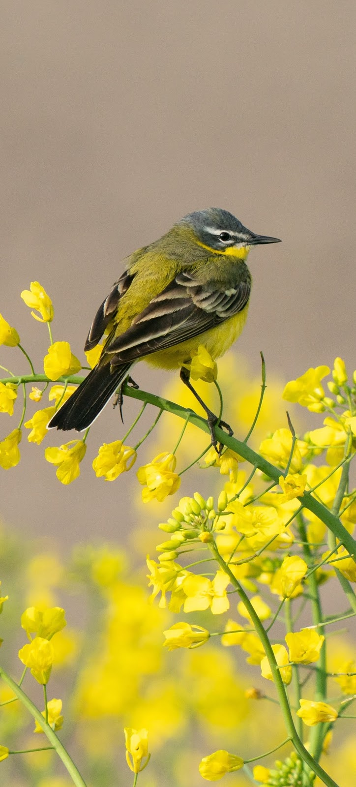 Western yellow wagtail.