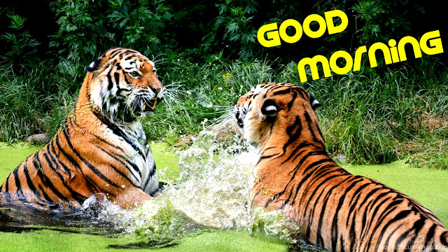 Good morning images tigers