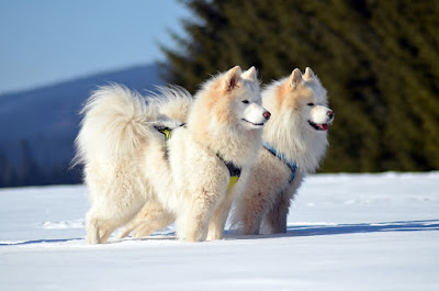 white dog breeds, big white dog breeds