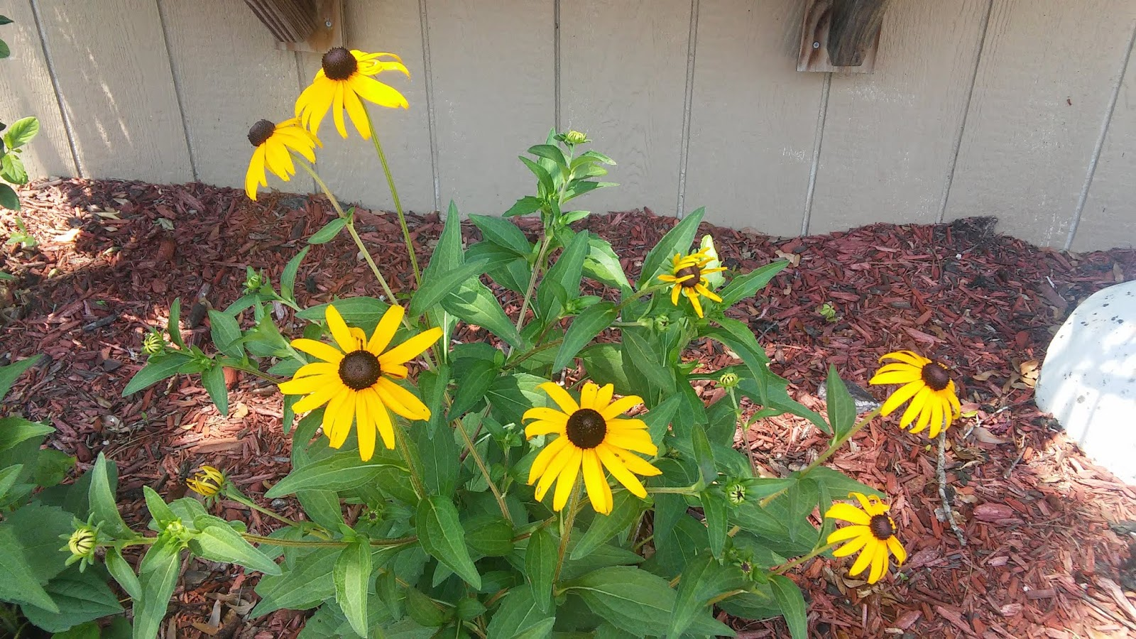 The citrus guy confusing crossed creations the most commonly thought of rudbeckia is the traditional black eyed susan a daisy like flower with gold petals and a dark center seed head izmirmasajfo