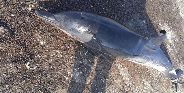Νεκρό δελφίνι σε παραλία της Κορινθίας