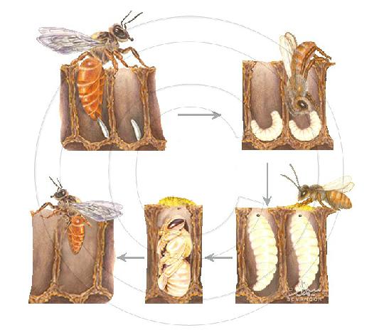دورة حياة النحلة