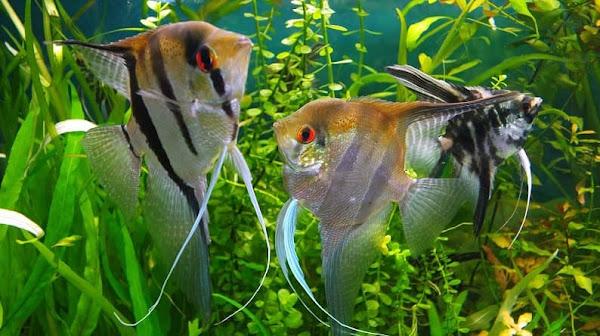Kỹ thuật nuôi và chăm sóc cá Thần Tiên trong bể thủy sinh khỏe mạnh ít bị bệnh