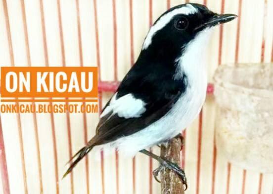 Cara Merawat Burung Decu Kembang Bakalan Agar Cepat Bunyi On Kicau