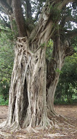 Aerial roots, Waimea Valley - Oahu, HI