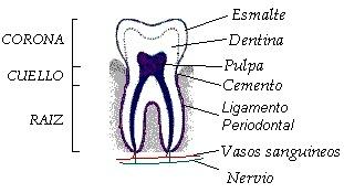 Dibujo del diente señalando sus partes