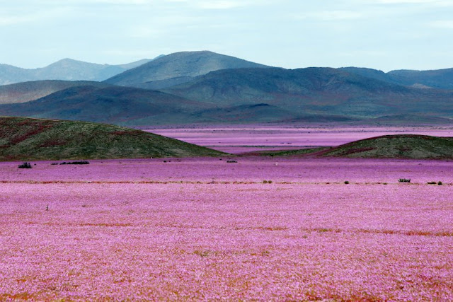 Atacama Desert in bloom.