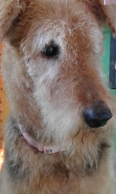 Airedale Hannah age 12