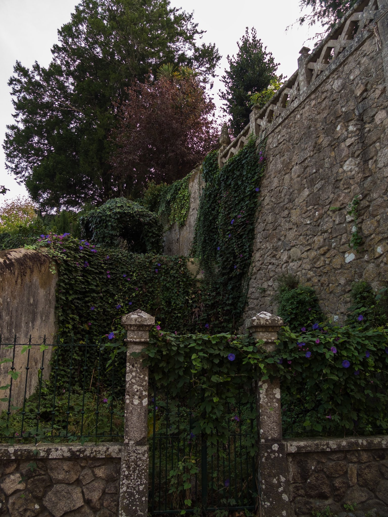 Flowering ivy on walls in Sintra