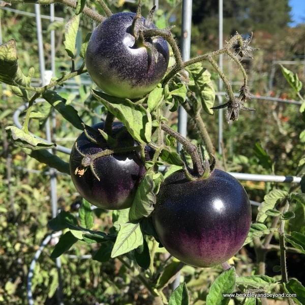 purple tomatoes at Elizabeth F. Gamble Garden in Palo Alto, California
