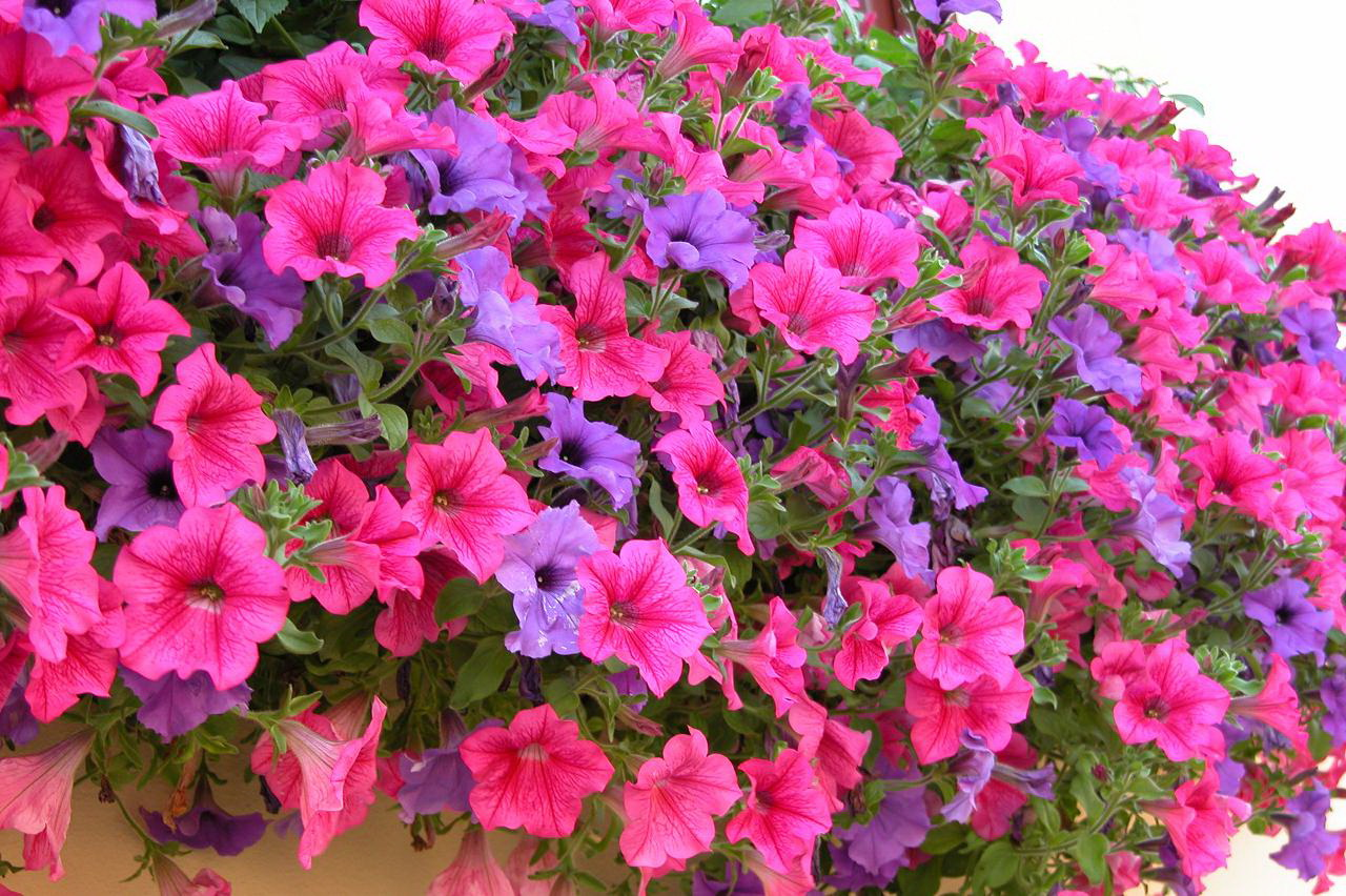 Romantic flowers july 2015 for Petunie perenni