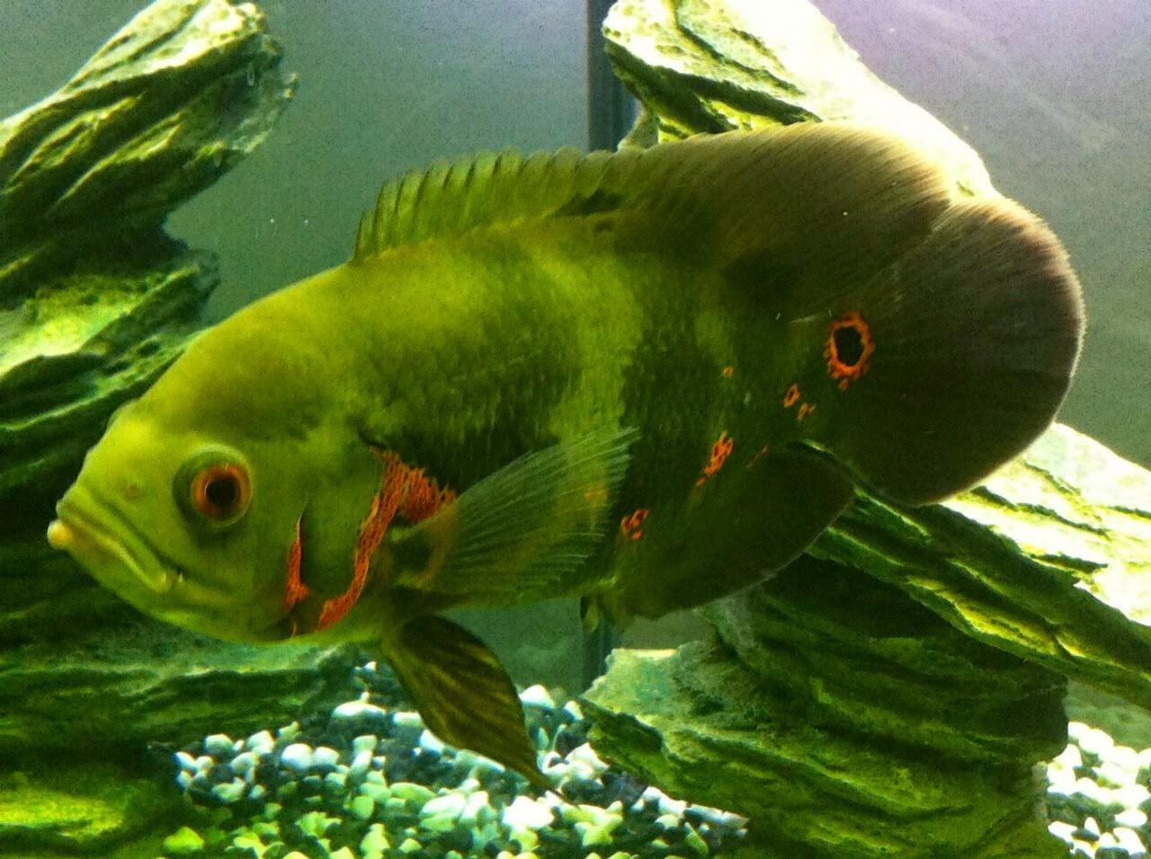 gambar ikan oskar nama hewan dari huruf O