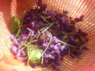 raccolta violette selvatiche