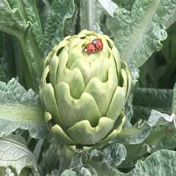 आर्टिचोक, artichoke vegetables name in Marathi